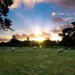 A Sheepish Sunset / chris_gin