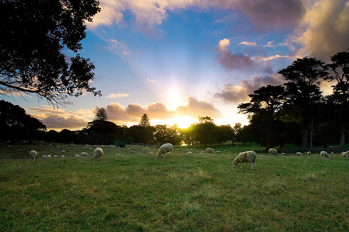 A Sheepish Sunset / chris_gin